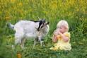 Козье молоко - полезные свойства и противопоказания