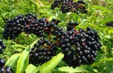 Бузина черная - полезные свойства и противопоказания